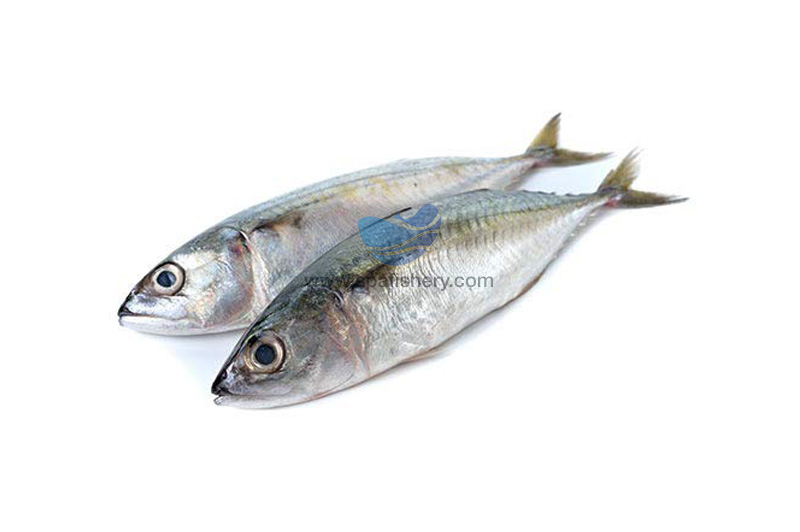Indian Mackarel